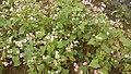 Flower garden in Dong Van.jpg