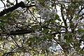 Flowering tree, Belfast, April 2012 (02).JPG