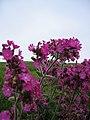 Flowers 2008 Cruden Bay (4000266883).jpg