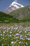 Flowers in Kazbegi.jpg