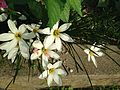 Flowers of Zephyranthes candida 20161007.jpg