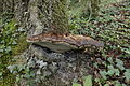 Fomitopsis pinicola-Dordogne 02.JPG