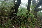 Forest in Yakushima 60.jpg