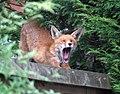 Fox wakes up (256337381).jpg