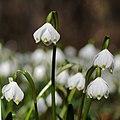 Frühlings-Knotenblume, Leucojum vernum 42.JPG