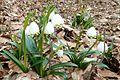 Frühlingsknotenblume, Habitus.jpg