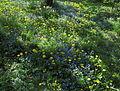 Frühlingswiese mit Löwenzahn und Vergissmeinnicht 1483a.jpg