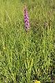 Fragrant Orchid - Gymnadenia conopsea - panoramio (7).jpg