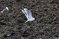 Franklin's Gull (Leucophaeus pipixcan) (8733125476).jpg
