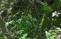 Frauenschuh Cypripedium calceolus Bula Gherdeina habitat.jpg