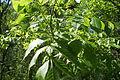 Fraxinus excelsior, Севастопальскі парк 1.jpg