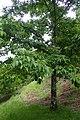 Fraxinus mandshurica kz02.jpg