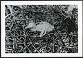 Fregata minor (Great Frigatebird) 1 day old, with visible egg tooth, on Christmas Island (Kiritimati), Kiribati, 1967. (9392658467).jpg