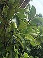 Fresh jak leaves.jpg