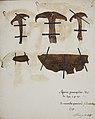 Fungi agaricus seriesI 051.jpg