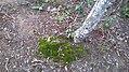 Fungos que lembra Grama de coloração Verde no chão-Ba.jpg