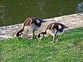 Gaense-klein-22-04-2009-001.jpg