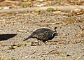 Gambel's quail (14659251383).jpg