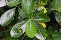 Gardenia taitensis 2zz.jpg