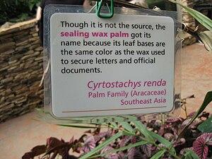 Cyrtostachys renda - Image: Gardenology IMG 4868 hunt 10mar