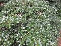 Gardenology.org-IMG 2287 rbgs11jan.jpg