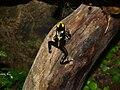 Gelb-schwarzer-Färberfrosch2.jpg