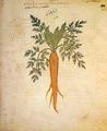 Gemeine Möhre (Wiener Dioskurides).png