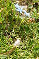 Gentiana verna PID3030.jpg