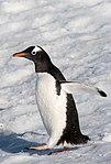 Gentoo Penguin Orne Harbour Antarctica 5 (46613357014).jpg