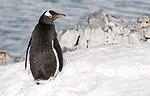 Gentoo Penguin Orne Harbour Antarctica 6 (47336695091).jpg