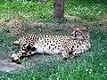 Gepard 03.JPG