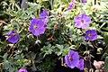 Geranium Rozanne 11zz.jpg
