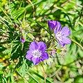 Geranium sylvaticum at Col de Tavaneuse (1).jpg