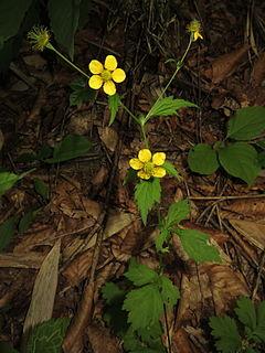 <i>Geum japonicum</i> Species of flowering plant