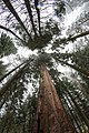 Giant Sequoias (20194877113).jpg
