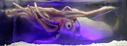 Giant squid melb aquarium03.jpg
