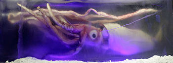 Photo of squid with prominiently visible eye