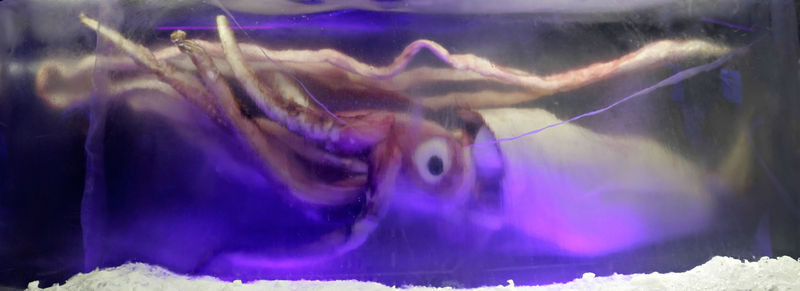 File:Giant squid melb aquarium03.jpg