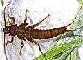 Giant stonefly, Pteronarcys californica (7882544056).jpg