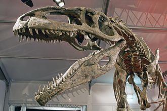 Carnosauria - Replica Giganotosaurus carolinii skeleton