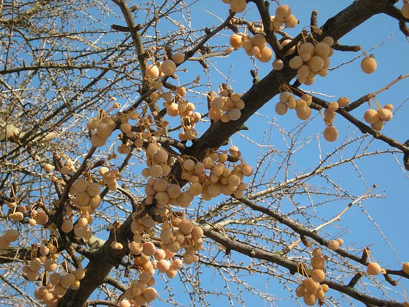 File:Ginkgo biloba (Schönbrunn) natural monument 20081122 101 Fruit.jpg