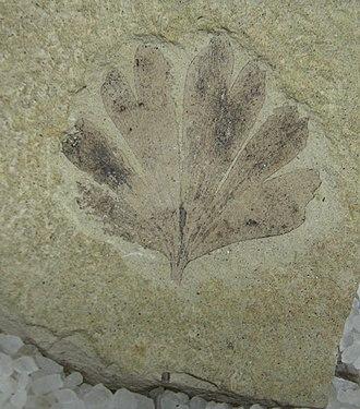 Ginkgo dissecta - G. dissecta leaf