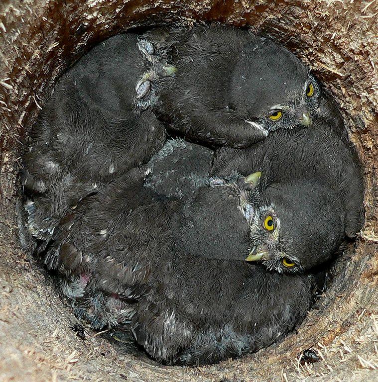 Kuvičok vrabčí - mláďatá