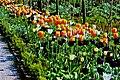 Glenveagh National Park - Flower in Walled Garden - geograph.org.uk - 1189243.jpg
