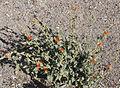 Globemallow Sphaeralcea ambigua plant.jpg