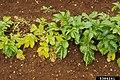 Globodera pallida at Solanum tuberosum (01).jpg