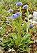Globularia punctata (habitus).jpg