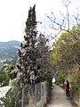 Glycines dans les cyprès (Roquebrune) 1.jpg