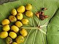 Gmelina arborea Fruit seed (3) 05.jpg