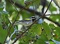 Golden-winged Warbler (37264133186).jpg